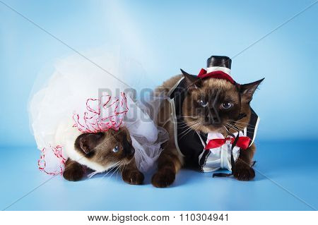 couple of mekong bobtail cats in wedding costumes, groom and bride on blue background