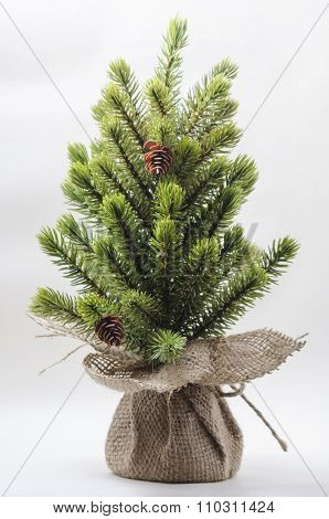 Little pine tree