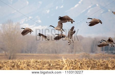 Geese Starting In Flight.