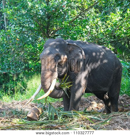 Asian Elephant With Tusks In The Forest