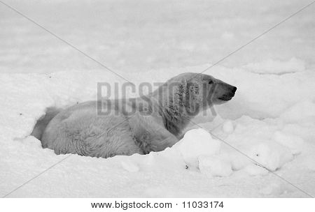 Rest Of Polar Bear.