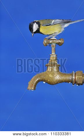 Little Tit Sitting On Faucet