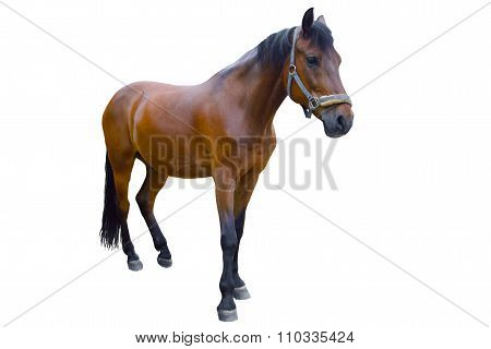 Horse isolated on a white background.