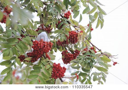 Red berries of mountain ash under a cap of snow