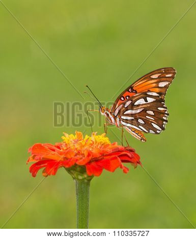 Beautiful Gulf Fritillary butterfly feeding on an orange Zinnia flower against green summer background