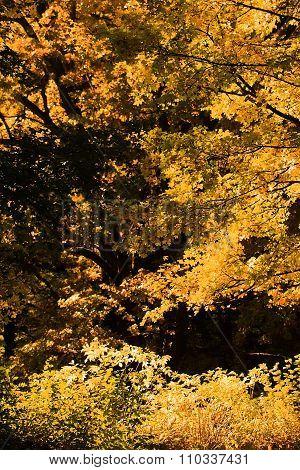 Golden-leaved Trees