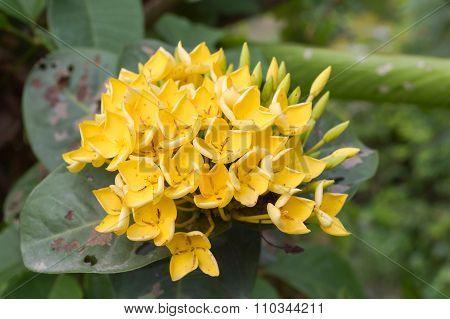 yellow Ixora coccinea flower