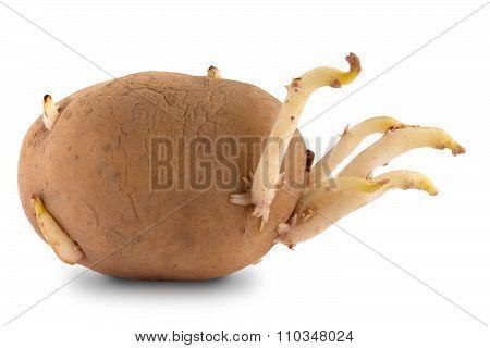 Germinating Potato On White