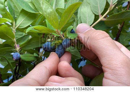 Hand Picking Blue Berries Honeysuckle