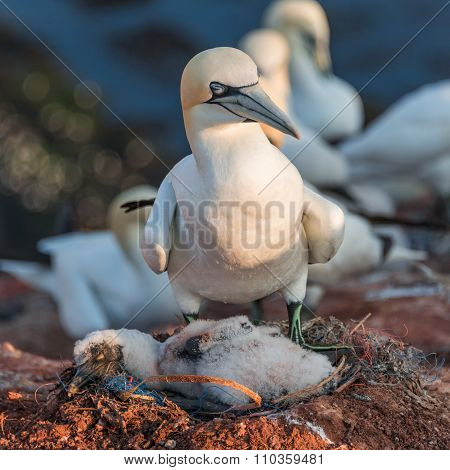 Gannet Mother With Its Chick At Helgoland Island In North Sea, Germany