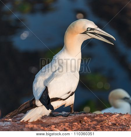 Colony Of Gannets At Helgoland Island In North Sea, Germany