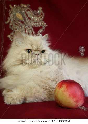Portrait of adult Persian cat with a peach
