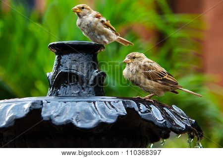 Two sparrows on a Fountain