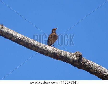 Rufous Hornero (Furnarius rufus)