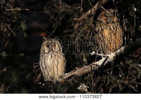 Two long-eared owl