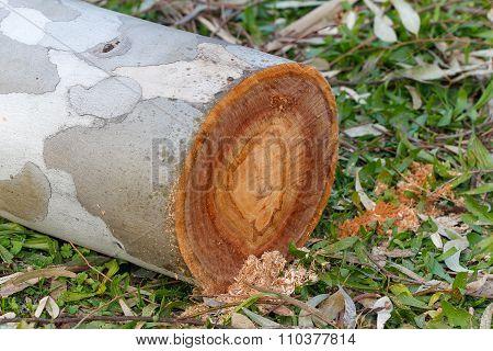 Eucalyptus log.