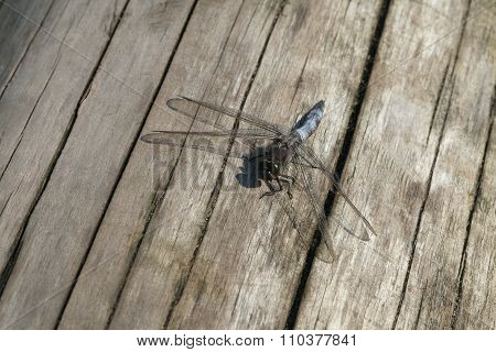 Dragon-fly sitting on a wooden plank