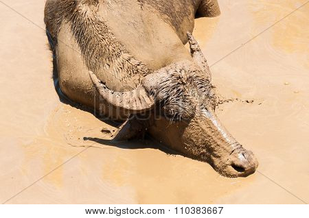 Buffalo In Dirt