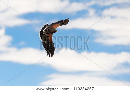 Bald Eagle Female Flying On A Blue Sky