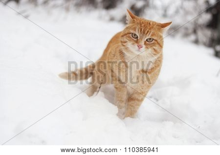 Red cat in the winter