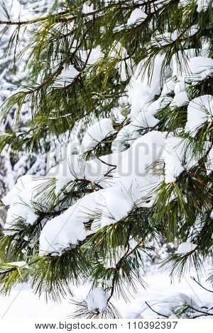 Winter Landscape With Branches Of Pine Tree Covered In Snow In Russia