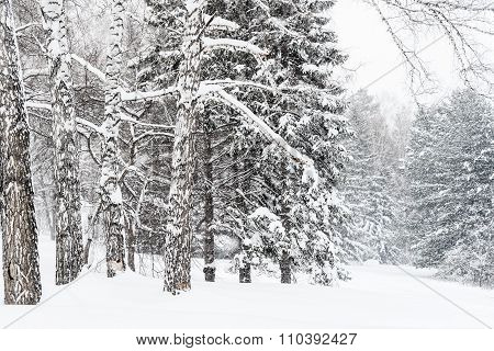 Winter Landscape With Branches Of Pine Tree Covered In Snow In Russia, Siberia