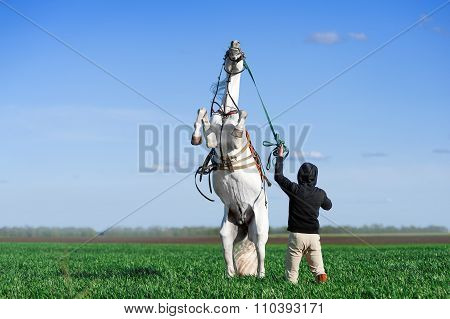 A man holds a white horse, which stands on its hind legs in the field against the blue sky.