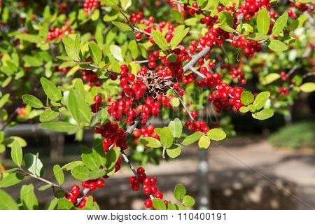 Red Rowan On Green Leaf Branch