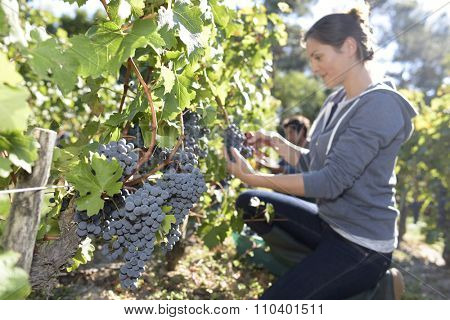 Closeup of young woman picking grape in vineyard