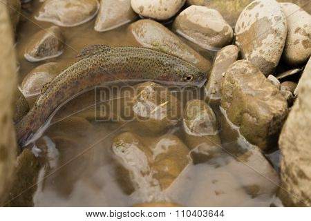 Trout fishing in a mountain river. Sport fishing