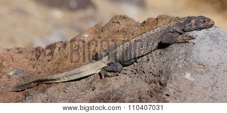 Common Chuckwalla, Sauromalus ater, Camouflaging on a rock