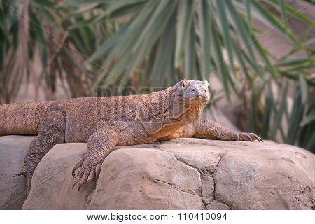 Komodo Dragon Rests On A Rock