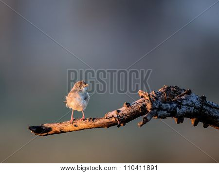 African Pipit perched in a tree