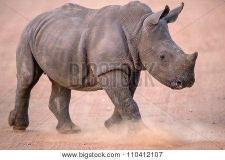 Charging Baby White Rhino