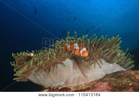 Clownfish nemo fish anemonefish