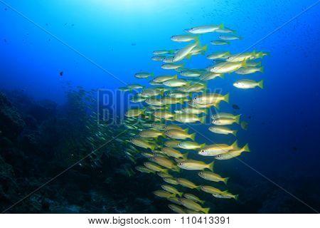 School of Bigeye Snapper fish on an underwater coral ref in ocean