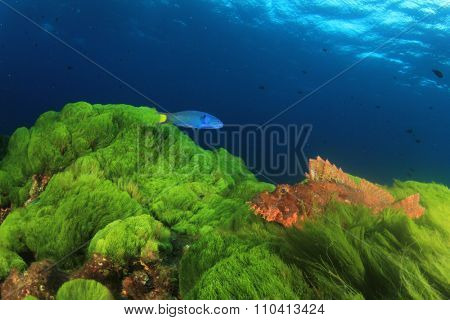 Scorpionfish green grass blue wtaer fish