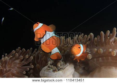 Clownfish nemo fish