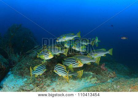 Fish school underwater: Oriental Sweetlips