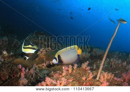 Coral reef underwater and angelfish tropical fish