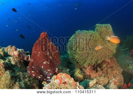 Reef Octopus and Sea Anemone with clownfish