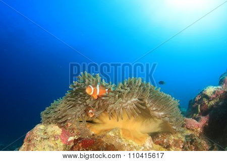 Clownfish (Anemonefish nemo fish)