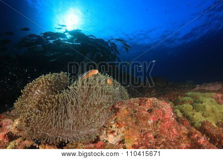 Sea Anemone coral reef clownfish underwater