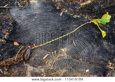 Sapling Oak In The Background Of A Large Tree Stump