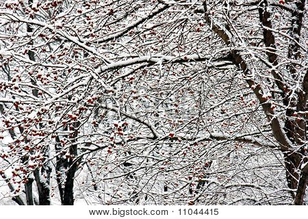 Snow Covered Red Fruits And Trees