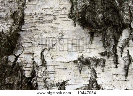 White birch bark, closeup natural texture background
