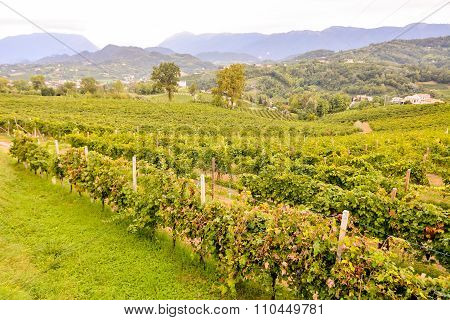 Vineyard Ready to Produce Wine