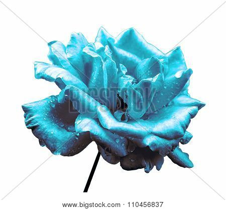 Surreal Dark Chrome Turquoise Rose Flower Isolated On White