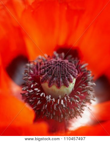 Close Up Of A Vivid Red Poppy Stamen