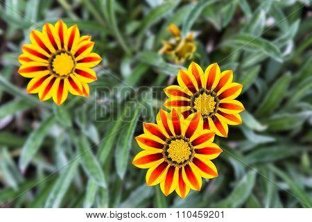 Red And Yellow Gazania